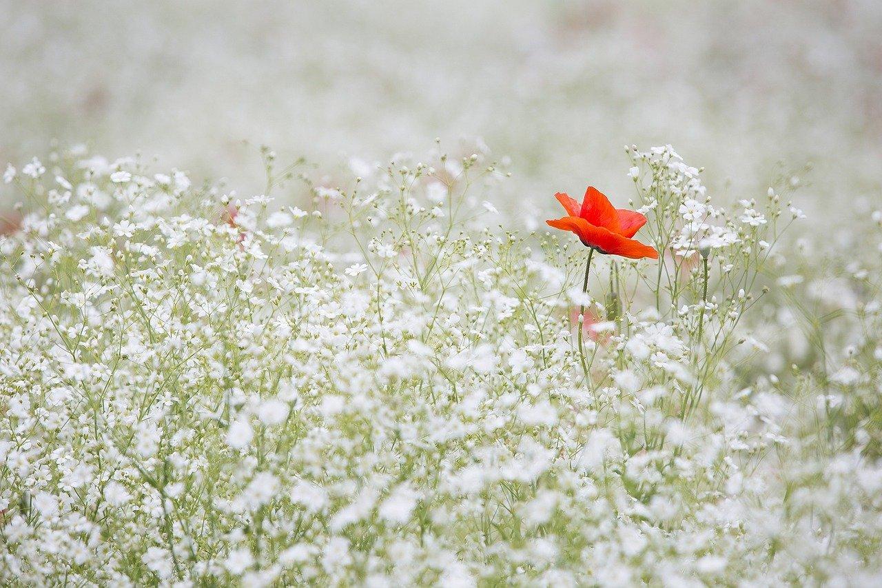 image of a single poppy in a field